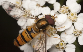 Episyrphus balteatus male · žiedmusė ♂