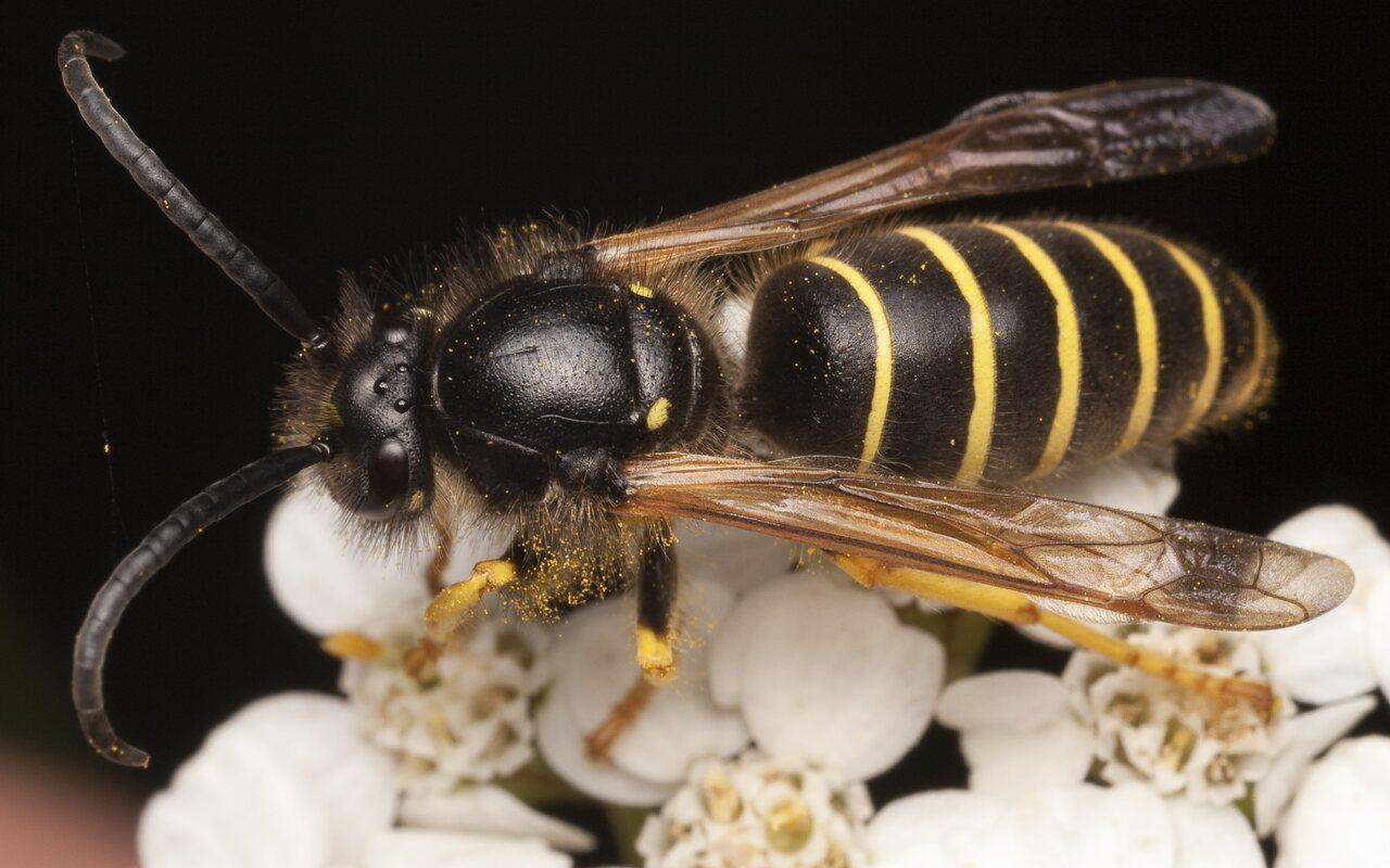 Hymenoptera-1906.jpg
