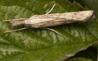 Agriphila inquinatella · murzinoji agrifila