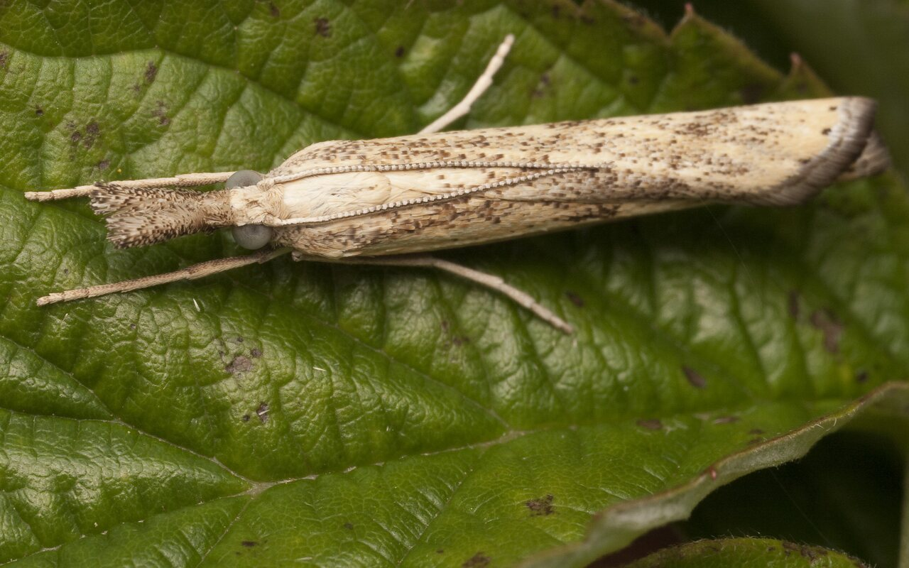 Agriphila-inquinatella-1920.jpg