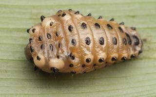 Chrysomela populi larva pupation · tuopinis gluosninukas, lerva virsta lėliuke