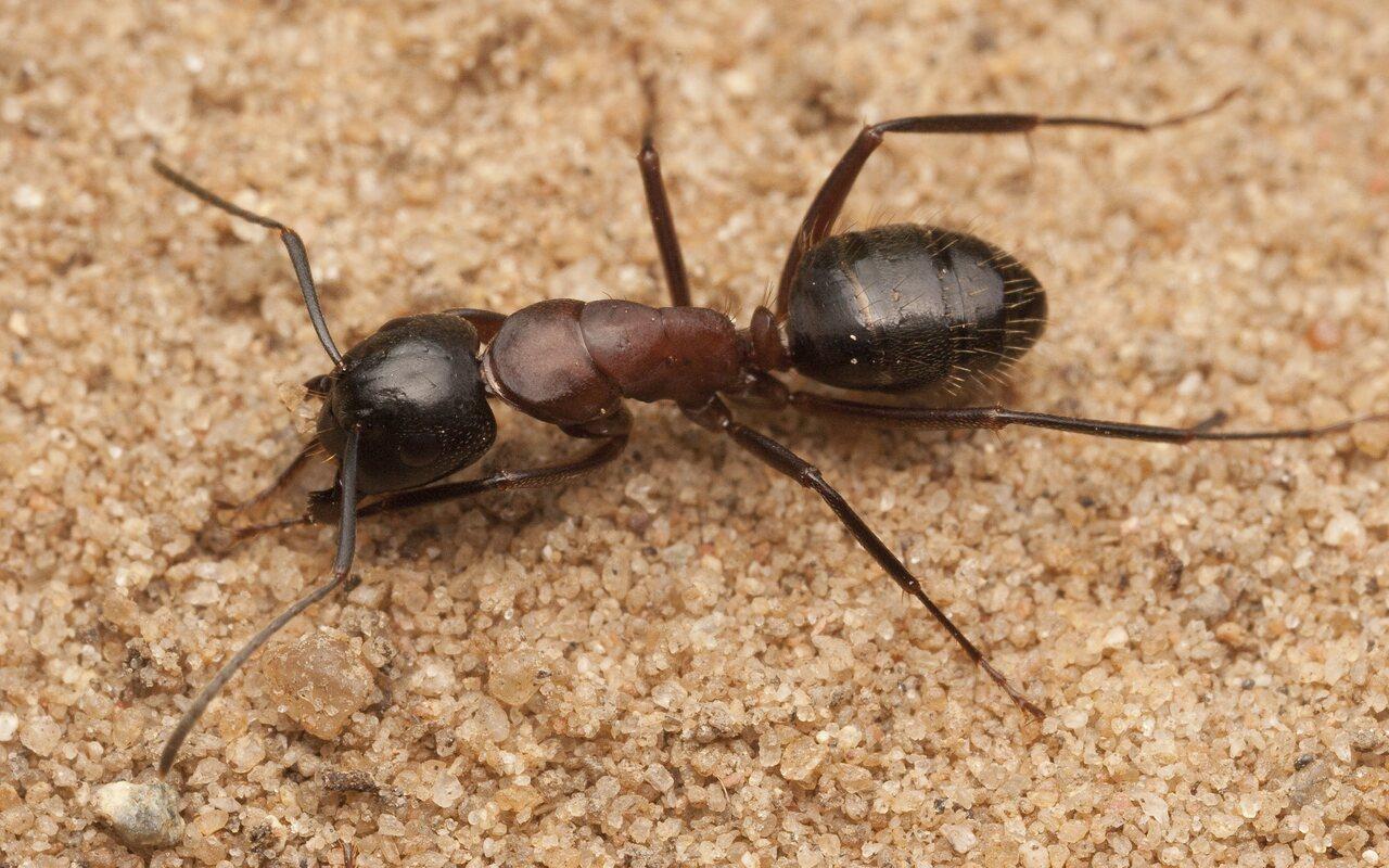 Formicidae-1953.jpg