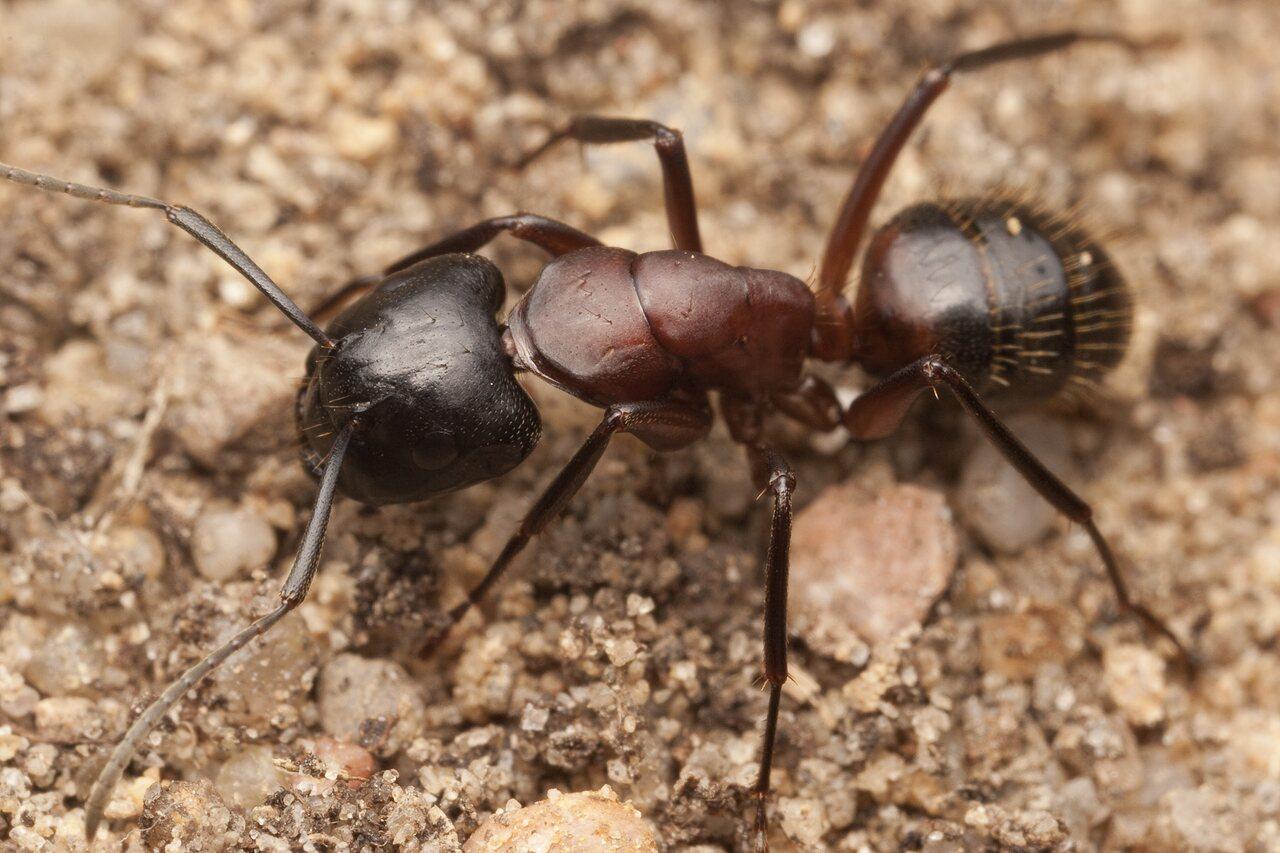 Formicidae-1955.jpg
