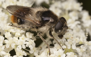 Cheilosia illustrata female · žiedmusė ♀
