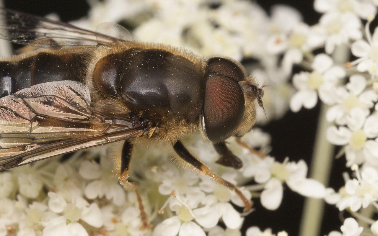 Syrphidae-1975.jpg