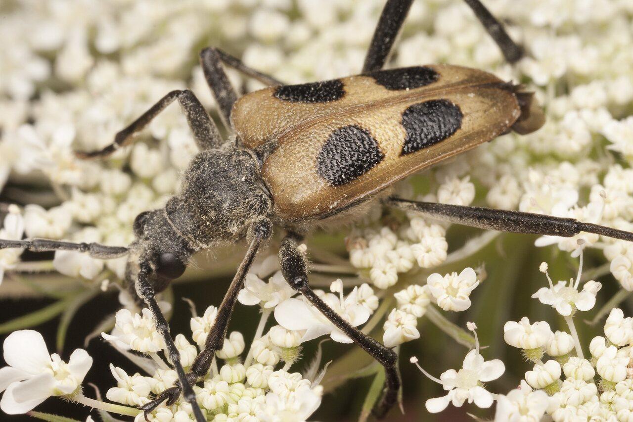 Pachyta-quadrimaculata-1990.jpg