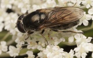 Syrphidae · žiedmusės 1991
