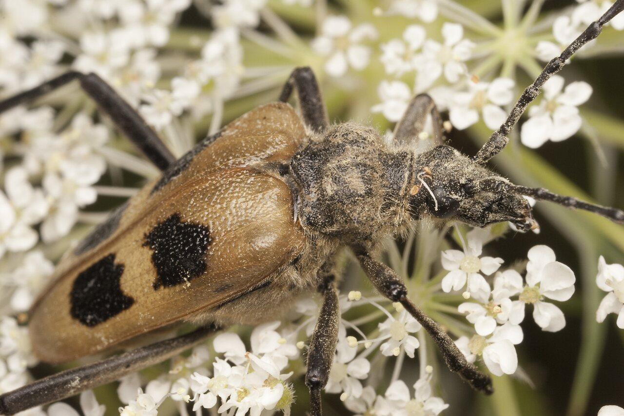 Pachyta-quadrimaculata-1993.jpg