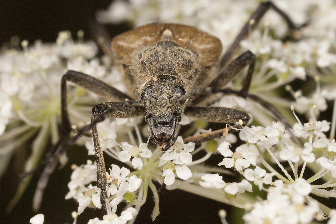 Pachyta-quadrimaculata-1995.jpg