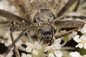 Pachyta quadrimaculata · keturdėmis šakniagręžis