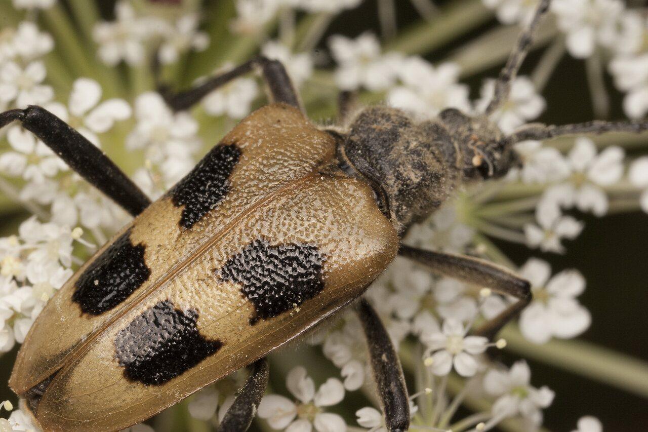 Pachyta-quadrimaculata-1997.jpg