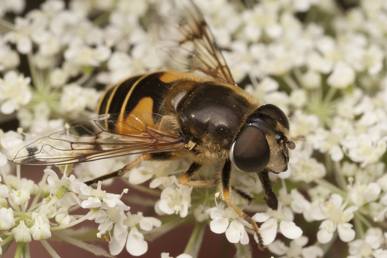 Syrphidae-2000.jpg