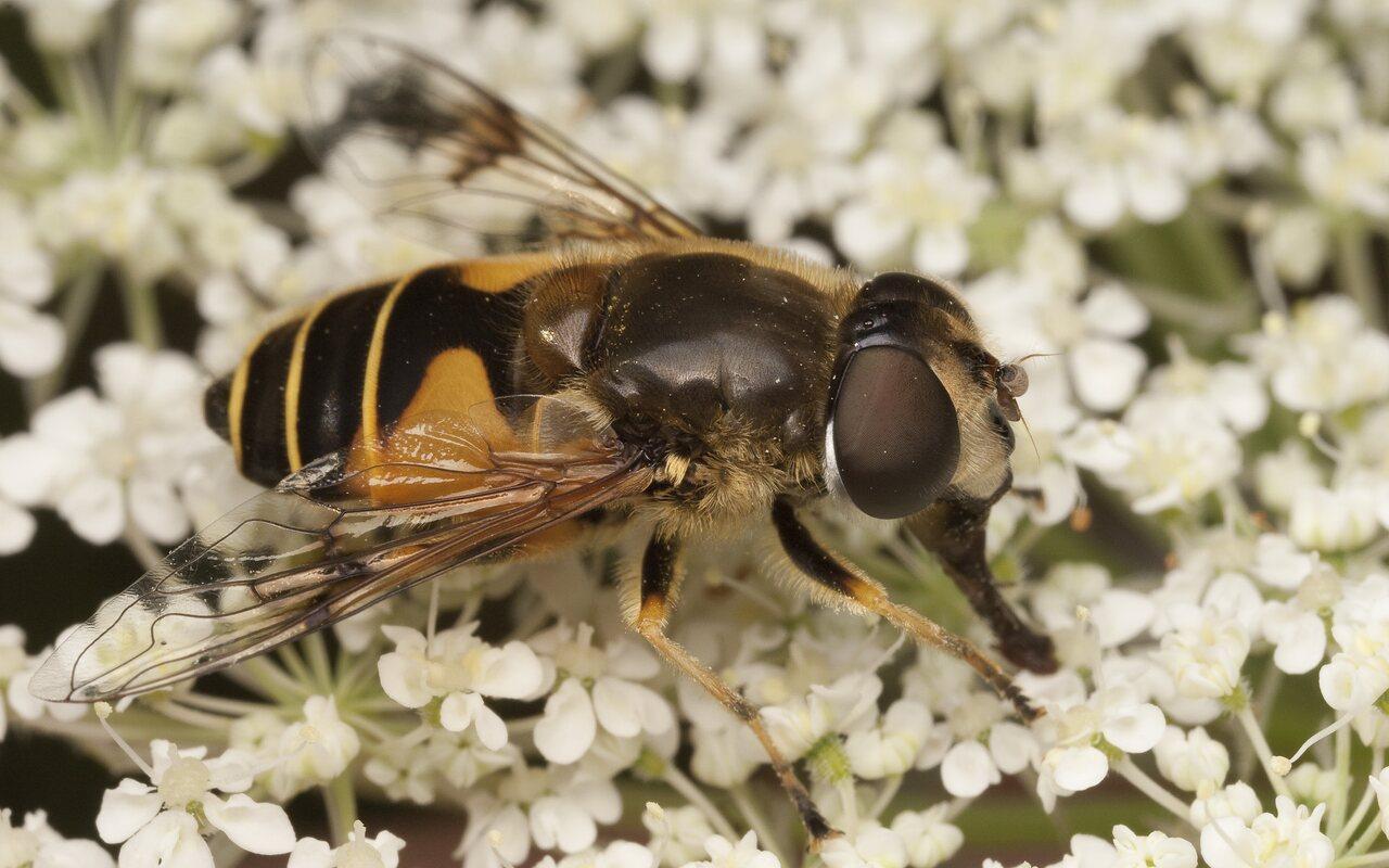 Syrphidae-2001.jpg