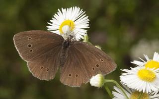 Aphantopus hyperanthus · tamsusis satyras