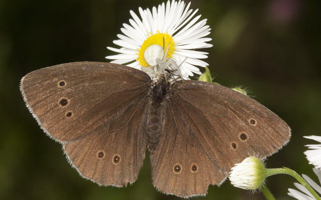 Aphantopus-hyperanthus-2004.jpg
