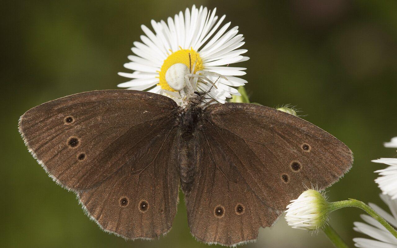 Aphantopus-hyperanthus-2006.jpg