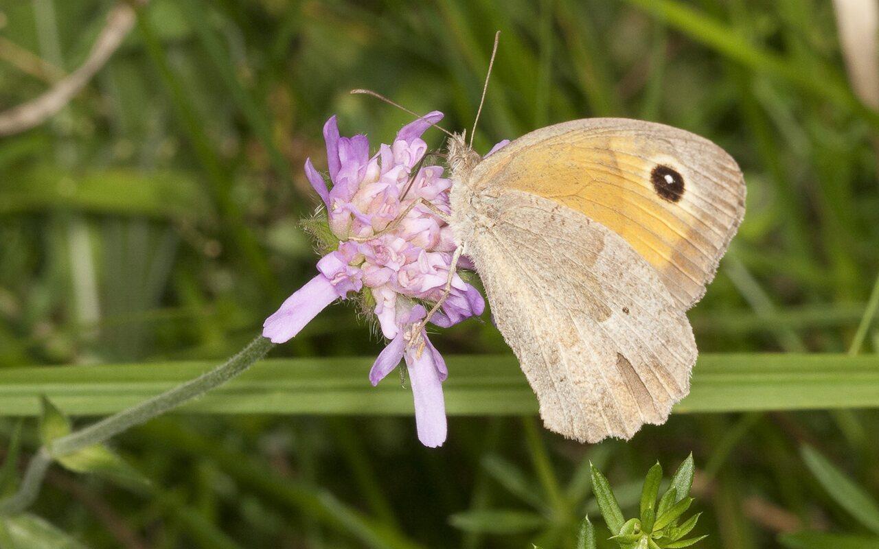 Coenonympha-pamphilus-2011.jpg