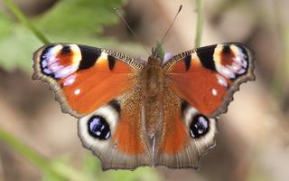 Nymphalidae · plaštakės