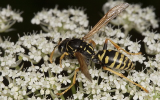 Hymenoptera 2031