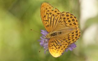Argynnis paphia male · didysis perlinukas ♂