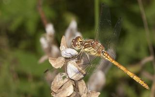 Sympetrum striolatum young male · didžioji skėtė, nesubrendęs ♂