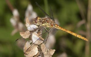 Sympetrum striolatum · didžioji skėtė