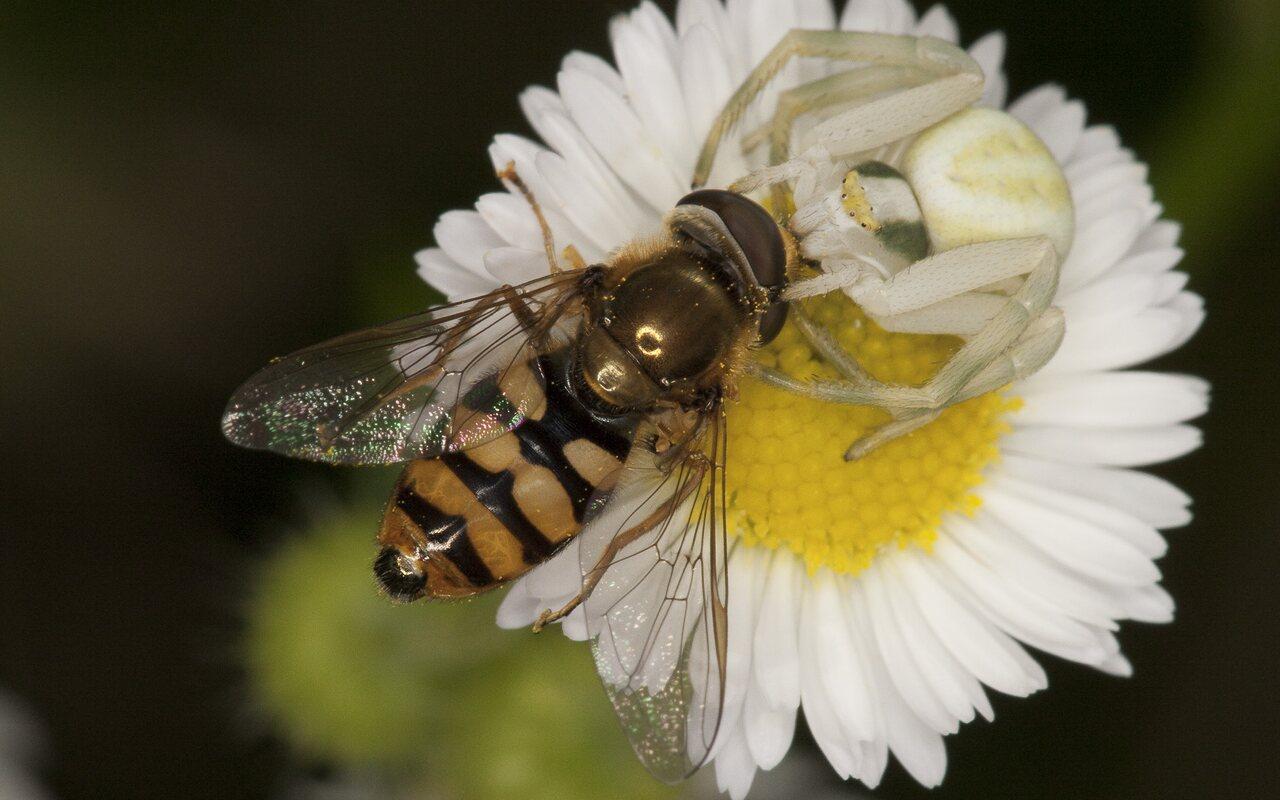 Syrphidae-2051.jpg