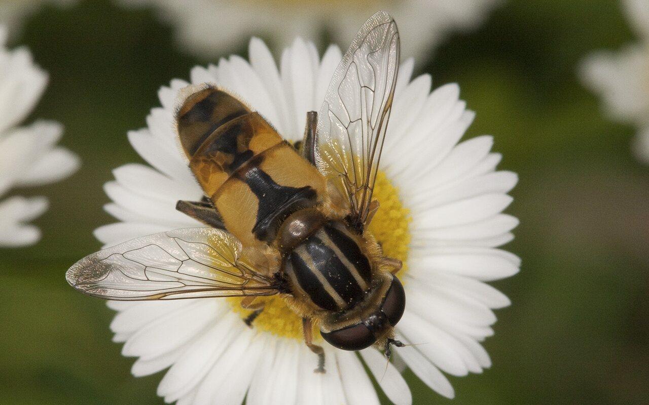 Syrphidae-2053.jpg