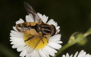 Helophilus hybridus · žiedmusė
