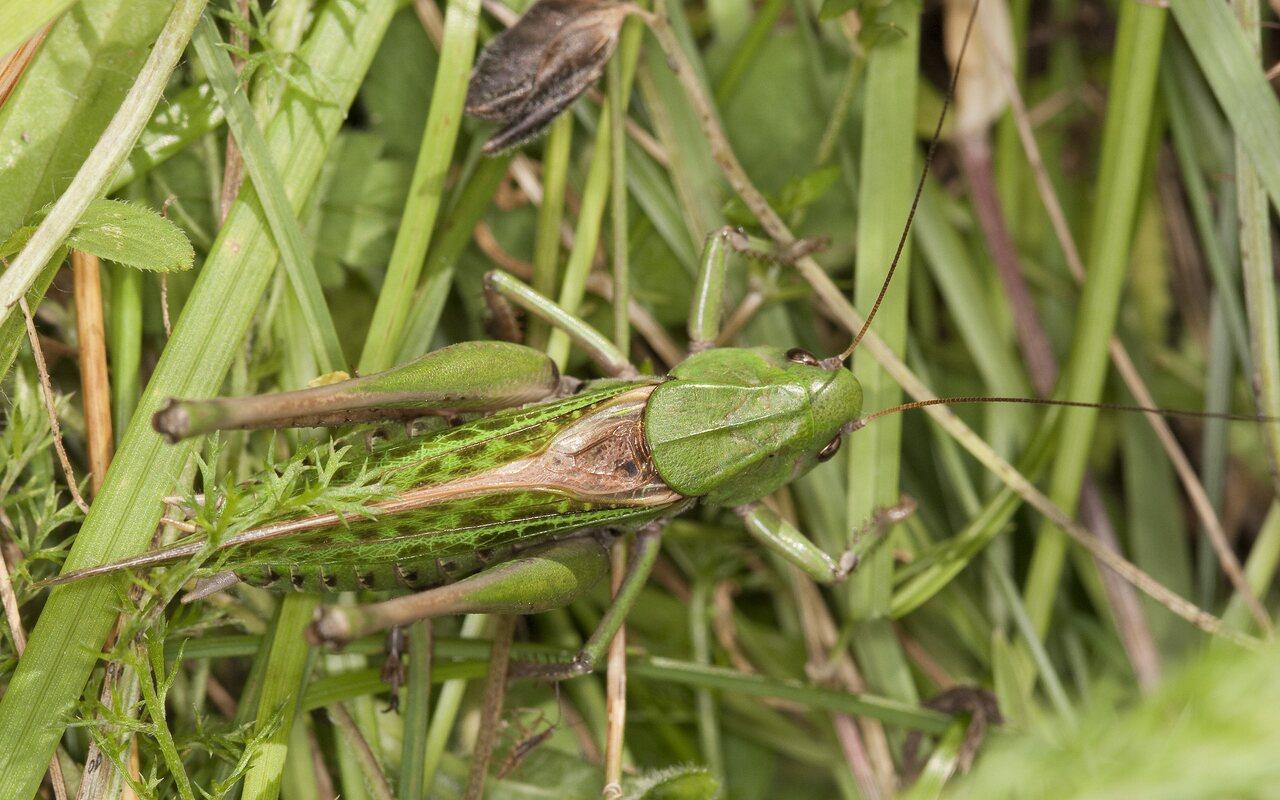Decticus-verrucivorus-2057.jpg