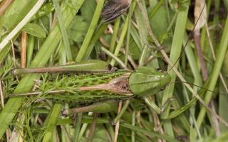 Decticus verrucivorus, male · margasis žiogas ♂