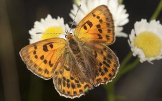 Lycaena virgaureae female · ugninis auksinukas ♀