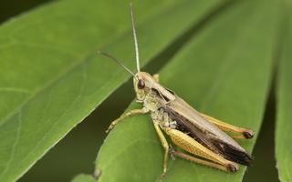 Omocestus viridulus · žaliasis skėriukas