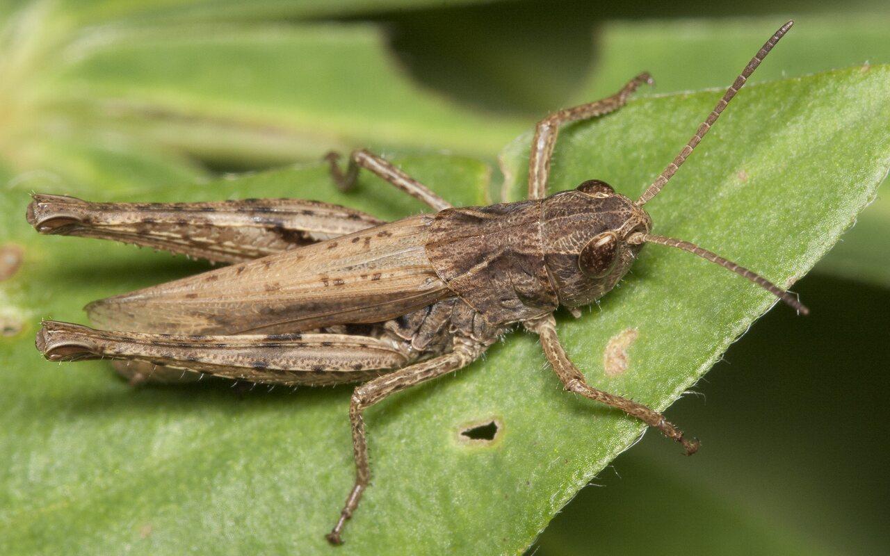 Acrididae-2095.jpg