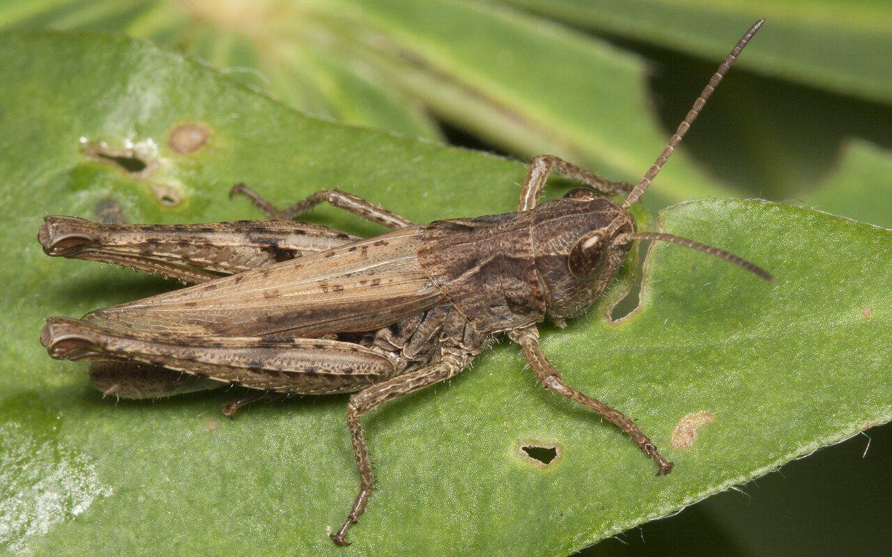 Acrididae-2096.jpg