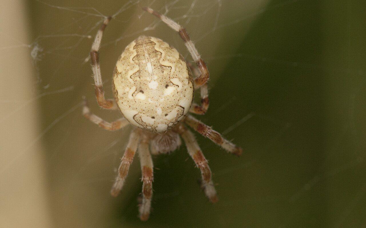Araneus-diadematus-2098.jpg