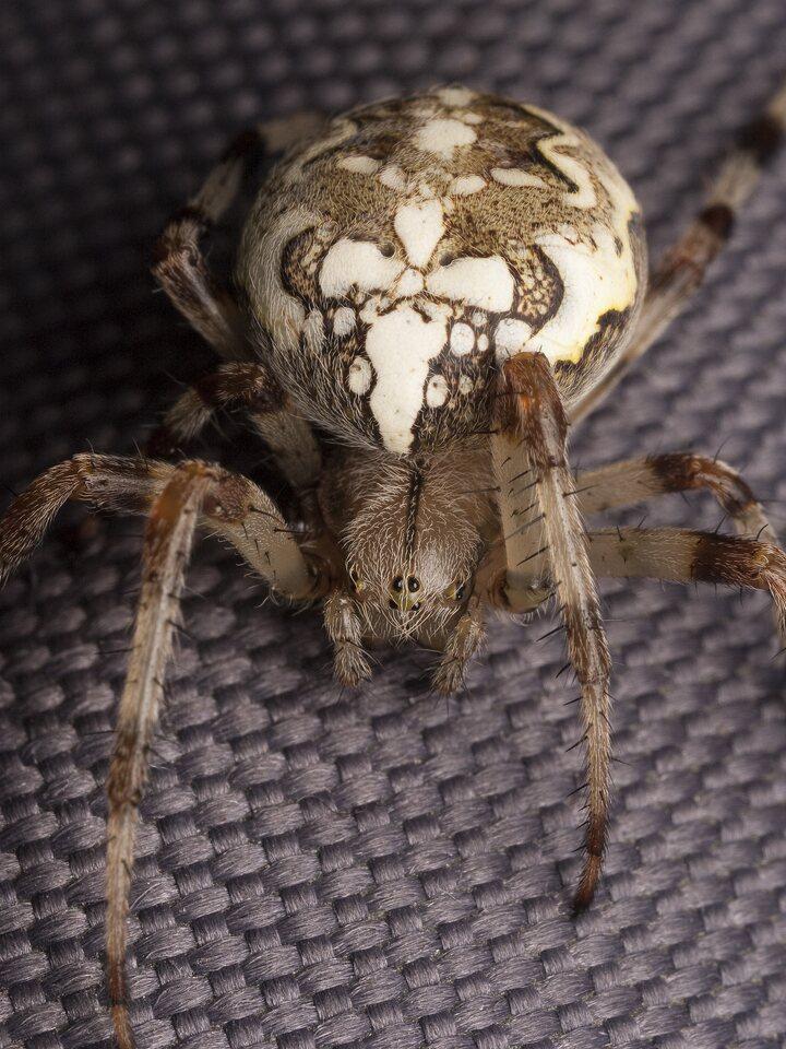 Araneidae-2101.jpg
