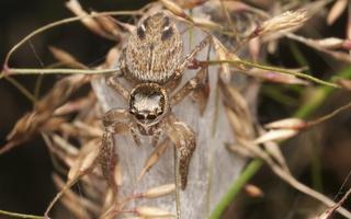 Evarcha arcuata female · vaivorykštinis musėgaudis ♀