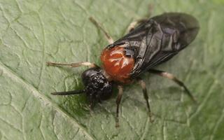 Eutomostethus ephippium · pjūklelis
