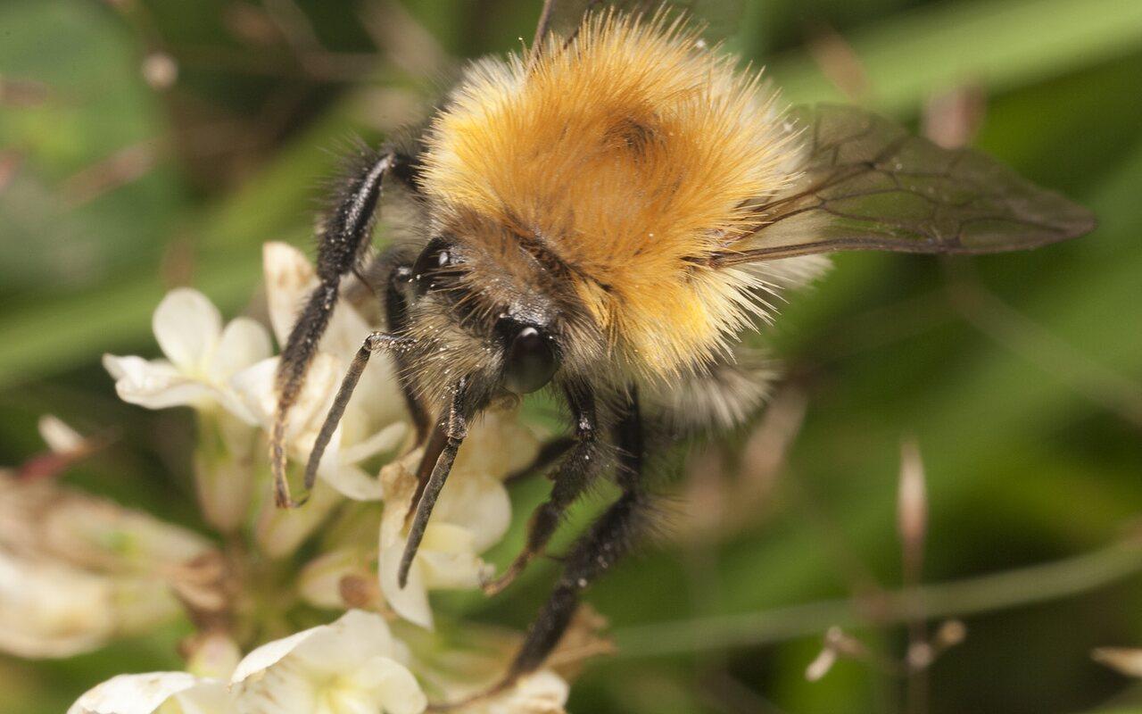 Apidae-2129.jpg