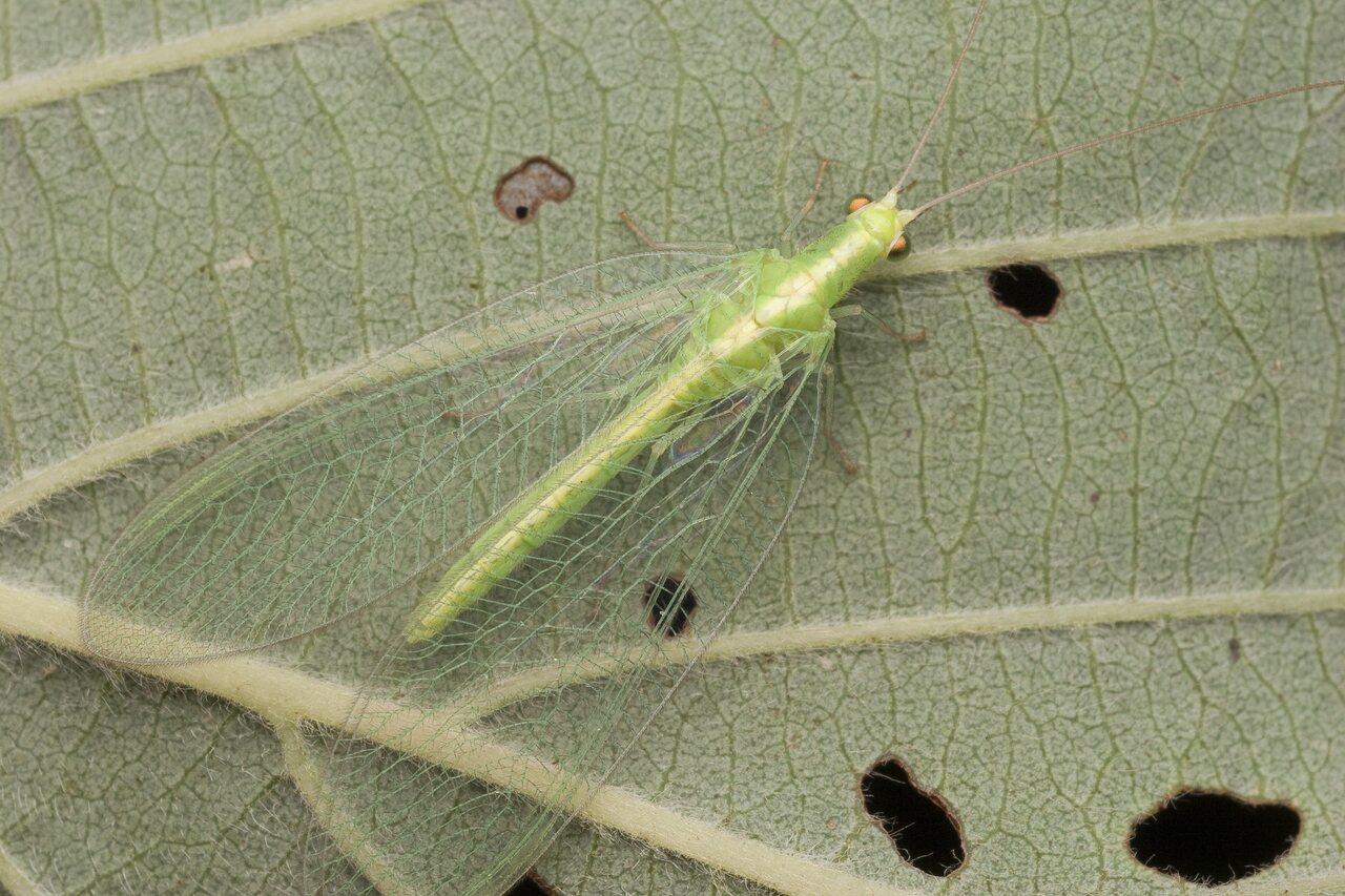 Chrysopidae-2145.jpg