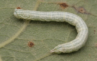 Pterapherapteryx sexalata caterpillar · gluosninis skiautenis, vikšras