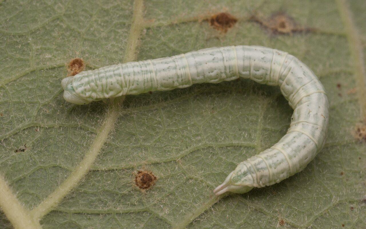 Lepidoptera-2149.jpg