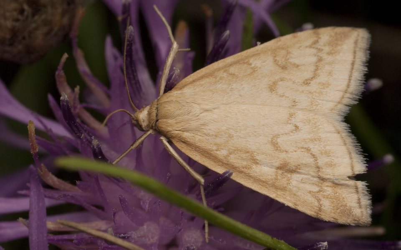 Lepidoptera-2151.jpg