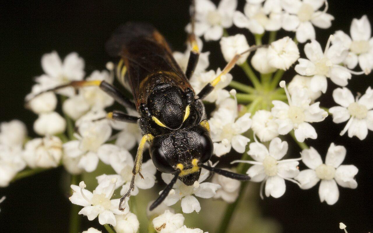 Hymenoptera-2155.jpg