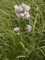Saponaria officinalis · vaistinis putoklis