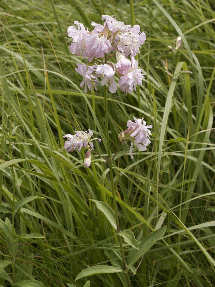 Saponaria-officinalis-2208.jpg