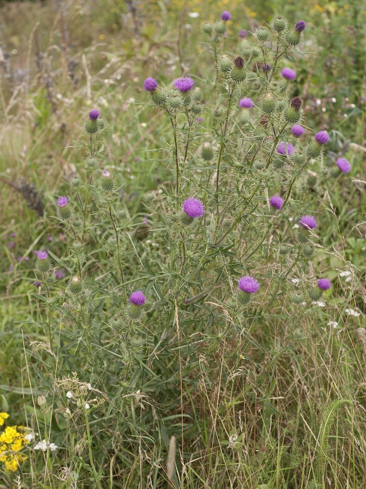 Carduus-acanthoides-2212.jpg