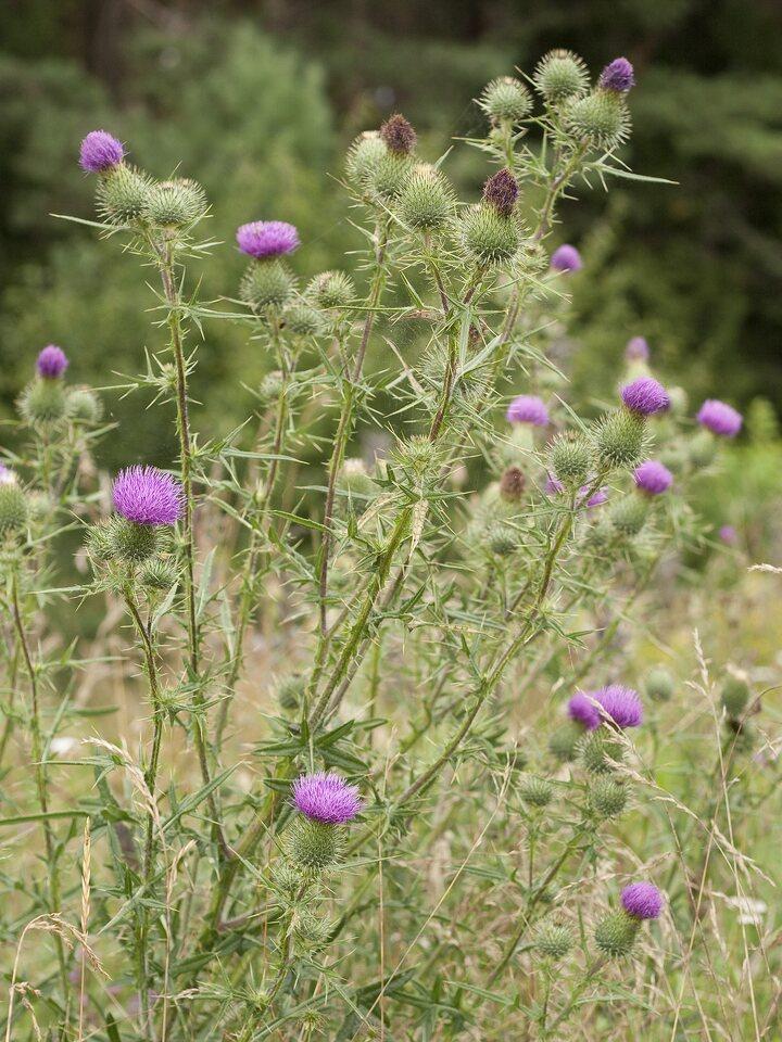 Carduus-acanthoides-2213.jpg