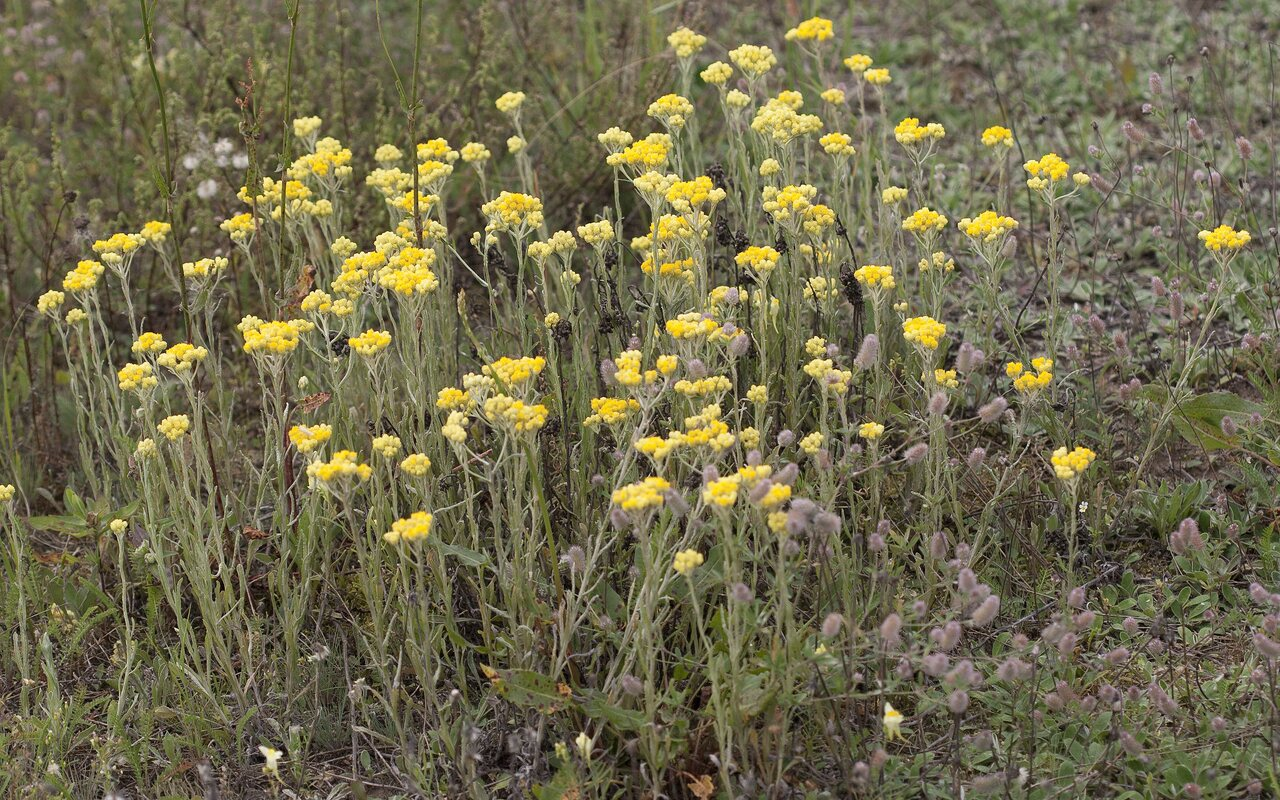 Helichrysum-arenarium-2224.jpg